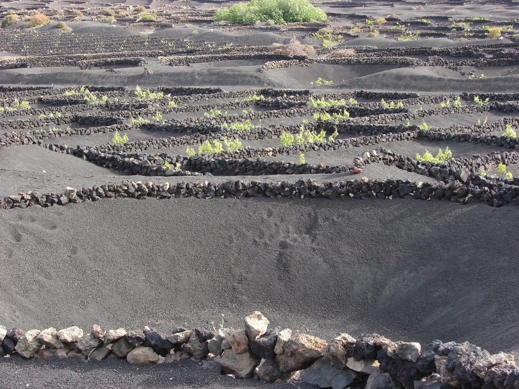 Image of grapes growing in volcanic soil